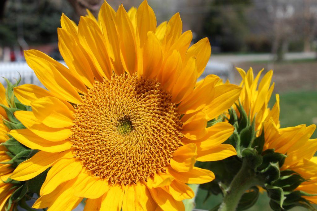 Beautiful large yellow sunflowers